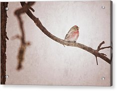 A Redpoll Bird On The Branch Of A Pine Acrylic Print by Roberta Murray