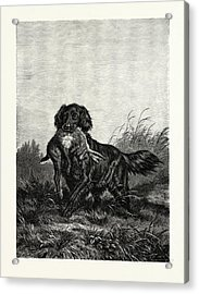 A Retriever. After Deiker. A Type Of Gun Dog That Retrieves Acrylic Print