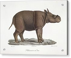 A Rhinoceros Of Java Acrylic Print