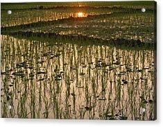 A Rice Paddy In Kaziranga National Park Acrylic Print