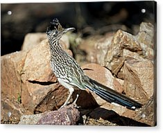 A Road Runner Pauses Momentarily Acrylic Print by Richard Wright