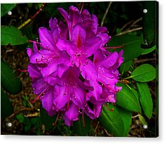 A Rody In Full Bloom Acrylic Print by Steve Battle