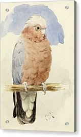 A Rose Breasted Cockatoo Acrylic Print by Henry Stacey Marks