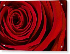 A Rose For Valentine's Day Acrylic Print by Adam Romanowicz