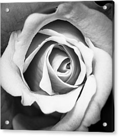 A Rose In Black And White Acrylic Print by Wade Brooks