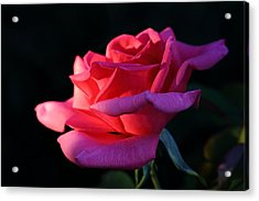 Acrylic Print featuring the photograph A Rose Is A Rose by David Andersen