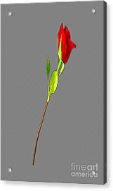 A Rose Is A Rose Is A Rose Acrylic Print by Tina M Wenger