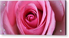 A Rose Is A Rose Is Acrylic Print