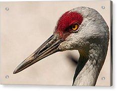 A Sandhill Crane Portrait Acrylic Print by Sabine Edrissi