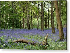 A Sea Of Bluebells Acrylic Print