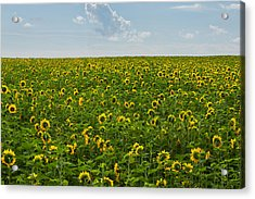 A Sea Of Sunflowers Acrylic Print