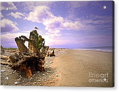 A Seagull On The Dungeness Spit Acrylic Print