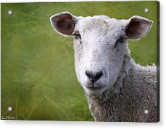 A Sheep Acrylic Print by David Simons