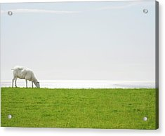 A Sheep Grazing With The Sea On The Acrylic Print