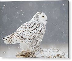A Side Portrait Of Snowy Owl Acrylic Print by Ming H Yao
