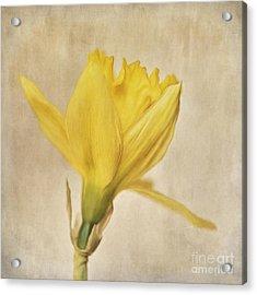 A Simple Daffodil Acrylic Print