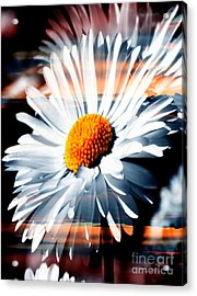A Simple Daisy Acrylic Print
