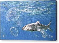 A Single Bonefish Glides Among Acrylic Print by Stanley Meltzoff / Silverfish Press