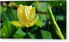 A Single Lotus Bloom Acrylic Print by Bruce Bley