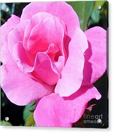 A Single Pink Rose Acrylic Print by Eloise Schneider