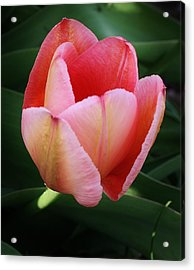 A Single Pink Tulip Acrylic Print by Bruce Bley