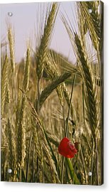A Small Field In Flanders Acrylic Print by Michael Canning
