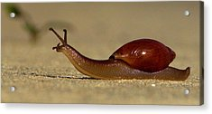 A Snails Pace Acrylic Print