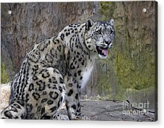 A Snow Leopards Tongue Acrylic Print by David Millenheft