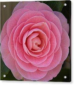 A Soft Blush Acrylic Print