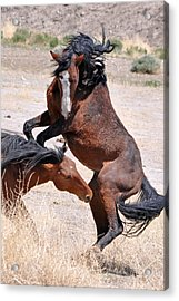 A Stallion Defends His Territory Acrylic Print