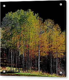 A Stand Of Birch Trees In Autumn Acrylic Print by David Patterson