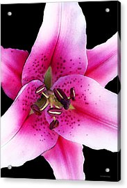 A Star Is Born - Pink Stargazer Lily By Sharon Cummings Acrylic Print by Sharon Cummings