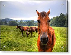 A Starring Horse 2 Acrylic Print