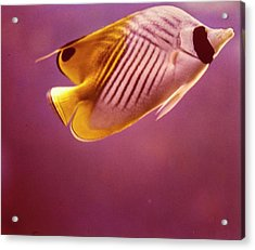 A Striped Butterfly Fish Acrylic Print