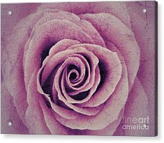 A Sugared Rose Acrylic Print