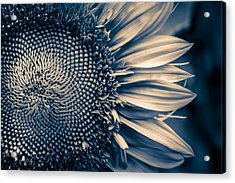 A Sunflower Dream Acrylic Print by Isabel Laurent