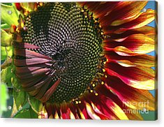A Sunflower For The Birds Acrylic Print by Sharon Talson