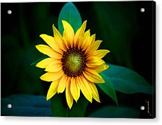 Acrylic Print featuring the photograph A Sunflower Named Stella by Gwyn Newcombe