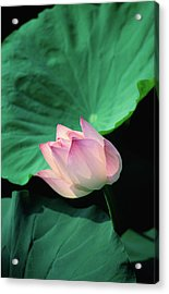 A Symbol Of Beauty And Purity, The Acrylic Print by Anders Blomqvist