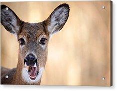 A Talking Deer Acrylic Print by Karol Livote
