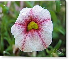 A Teardrop For Today Acrylic Print by Judy Via-Wolff