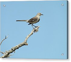 A Texas Mockingbird Acrylic Print by Rebecca Cearley