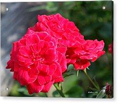 A Thorny Rose Acrylic Print