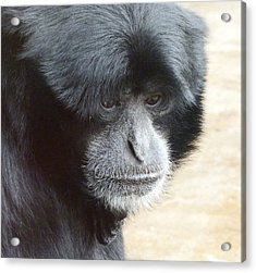 A Thoughtful Siamang Acrylic Print by Margaret Saheed