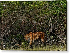 A Tiger Walks Among The Mangroves Acrylic Print by Steve Winter