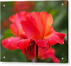 A Tintinara Rose In The Rain Acrylic Print