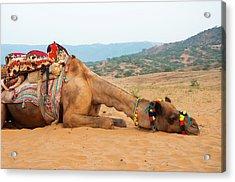 A Tired Camel, Pushkar, Rajasthan, India Acrylic Print by Inger Hogstrom
