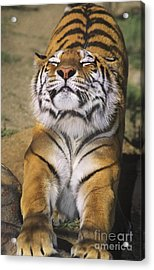 A Tough Day Siberian Tiger Endangered Species Wildlife Rescue Acrylic Print by Dave Welling
