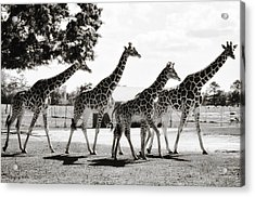 A Tower Of Giraffe - Black And White Acrylic Print