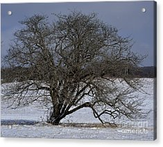A Tree In Canaan 2 Acrylic Print by Randy Bodkins